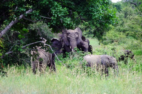 Elephant herd in Kruger