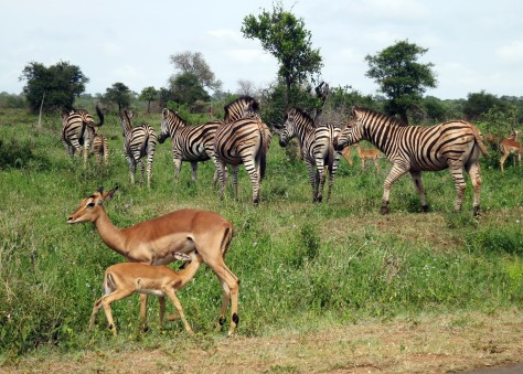 Antelopes and zebras in Kruger