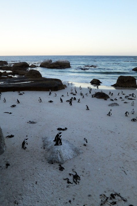 The cute residents of Boulders Beach, Cape Town
