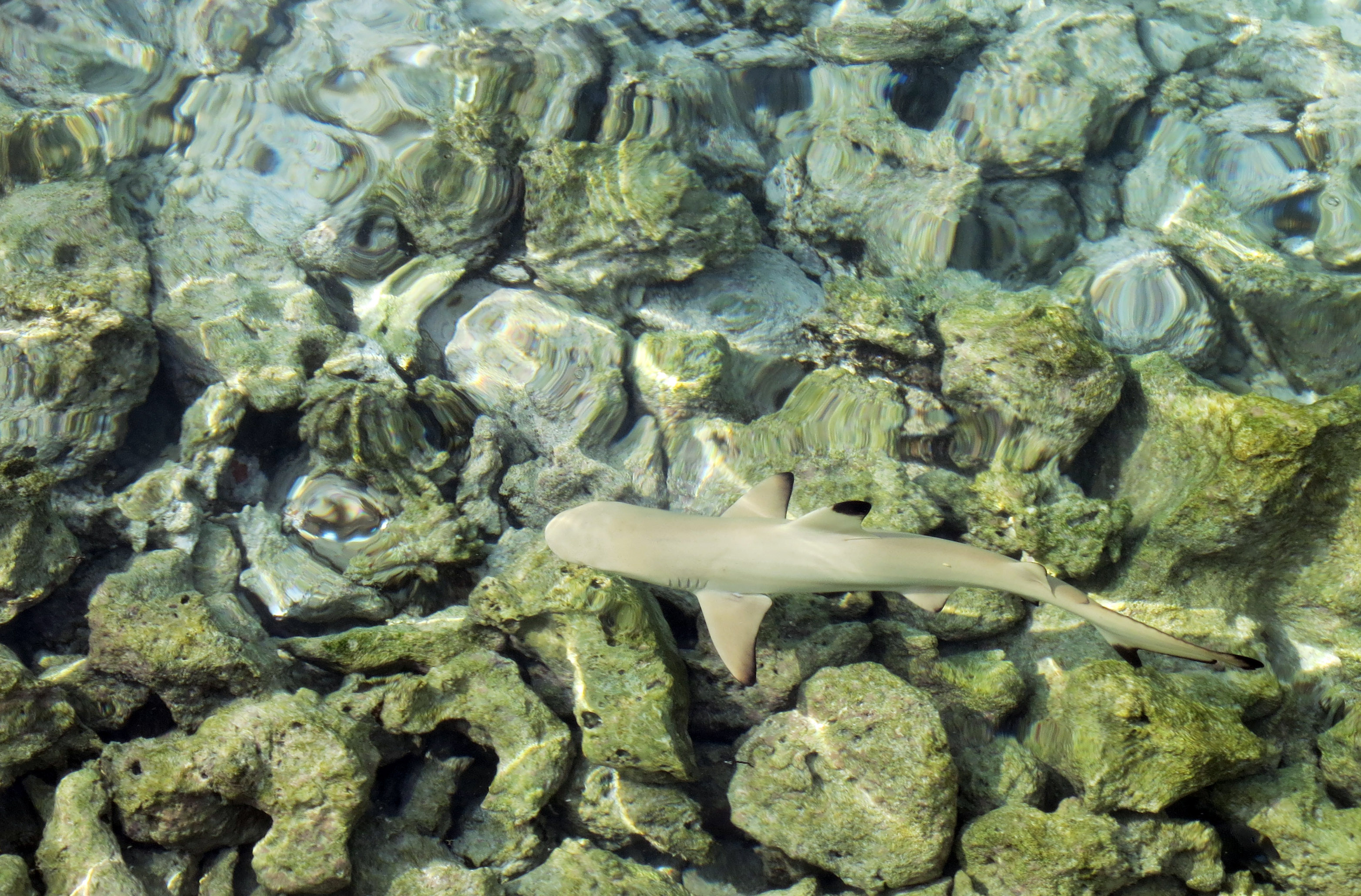 Spotted: baby black-tip shark swimming on the shallow reef.