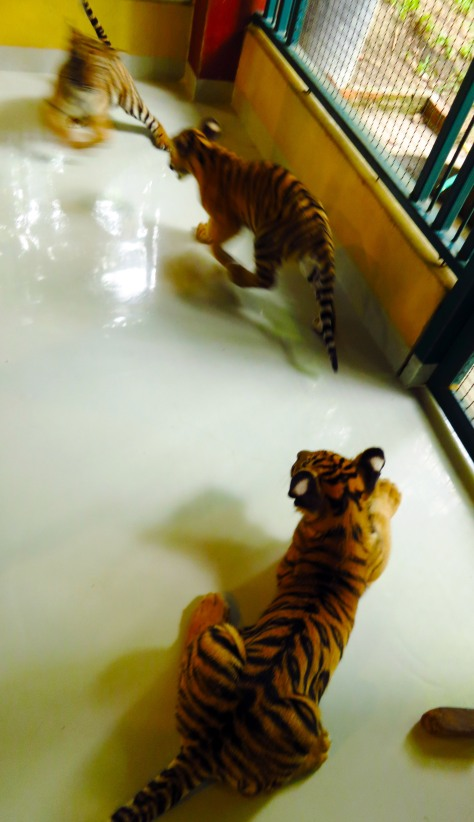 How often do you see tiger cubs roaming around your feet?