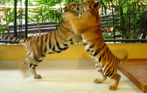 Playful tigers at the Tiger Kingdom