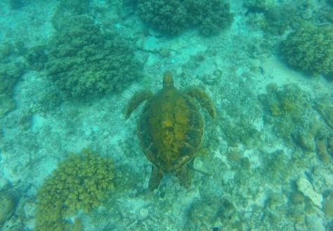 Pawikan Giant Turtle Apo Island